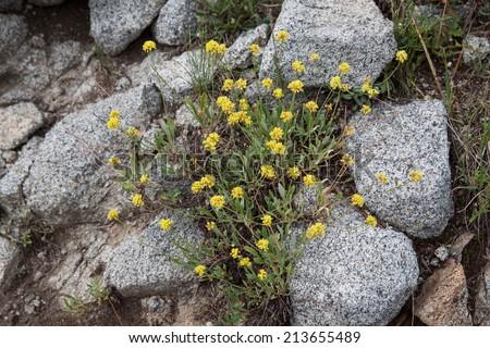 horizontal orientation close up of yellow wildflowers growing among granite rocks near Alta, Utah, USA, with copy space / Yellow Wildflowers and Granite - Horizontal - stock photo