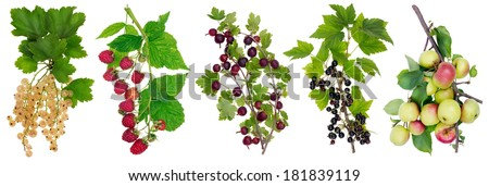Horizontal panel collage with isolated branches with ripe simple european berries. All full size images  you can find in my portfolio. - stock photo