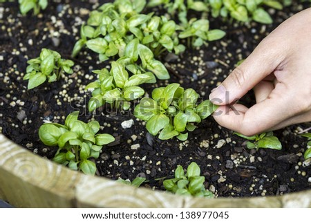 Horizontal photo of a female hand touching a new basil plant in a barrel planter