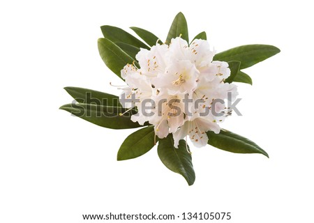 Horizontal photo of a White and Pink Rhododendron flower on white background - stock photo