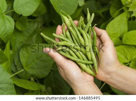 Horizontal photo of female hands holding fresh green beans with vegetable garden in background - stock photo