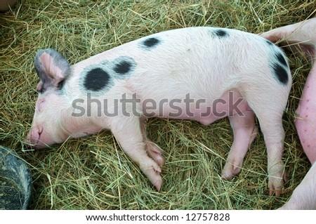 Horizontal photo of Gloucestershire Old Spot piglet enjoying rest after eating - stock photo