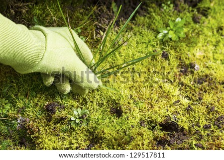Horizontal photo of gloved hand pulling grass weed out of garden