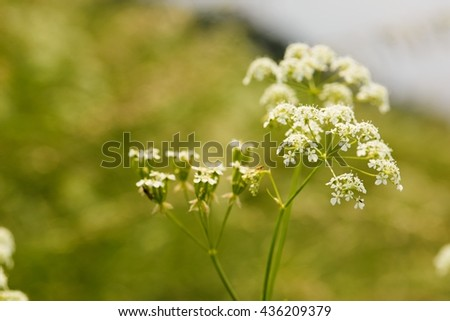 Horizontal photo with blooming cumin on summer meadow. Flower with several small blooms. Few pieces of insect on blooms. Askew horizon in background. Blur green meadow beyond white flower. - stock photo