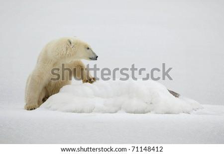 Horizontal portrait of a polar bear. Close up a portrait of a polar bear. Close. - stock photo