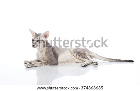 Horizontal portrait of one cat of Oriental Shorthair breed lying on isolated background