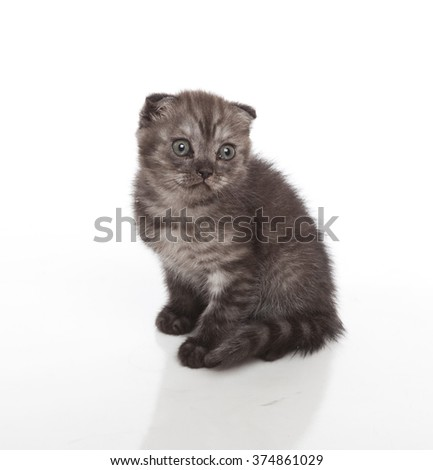 Horizontal portrait of one dark gray little kitten  of scottish breed sitting on isolated background - stock photo
