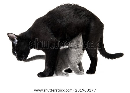 Horizontal shot of a small grey kitten and its black mother - stock photo