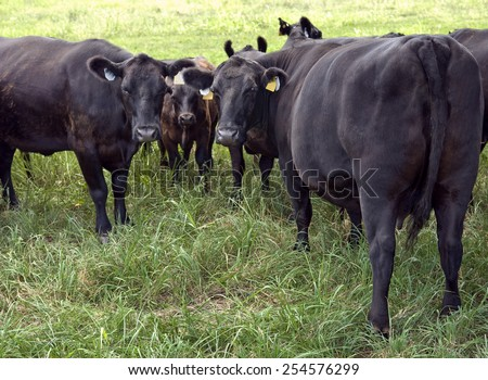 Horizontal Shot Of Black Angus Cattle Focus On Center Right Cow - stock photo