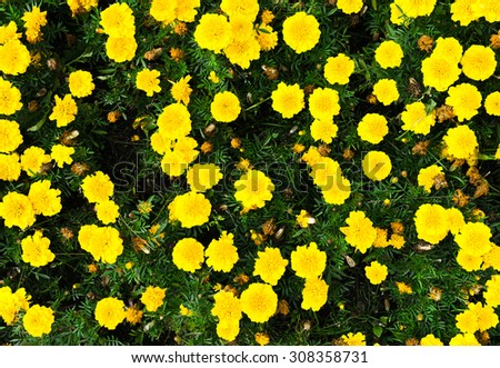 Horizontal vibrant yellow flowers view from above background - stock photo