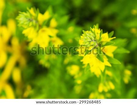Horizontal vivid yellow flower bokeh background - stock photo