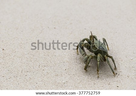 Horn-eyed green ghost crab (Ocypode ceratophthalma) in the sand of the ocean shore