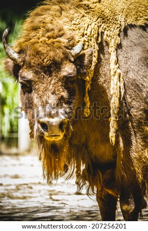 horn, great and mighty bison, america - stock photo