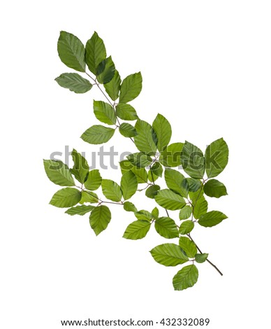hornbeam branch with green leaves isolated on white background - stock photo