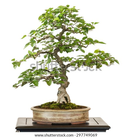 Hornbeam in a pot from Corea as bonsai tree