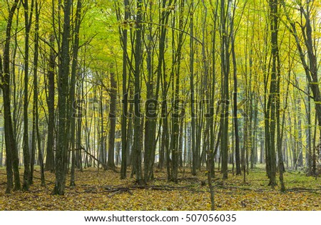 Hornbeam trees in autumnal landscape of primeval deciduous stand, Bialowieza Forest, Poland, Europe