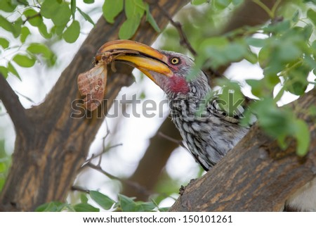 Hornbill eating a moth A yellow billed Hornbill sitting in a tree with green leaves, eating a moth (insect) - stock photo