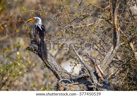 Hornbill in Kruger National park - South Africa - stock photo