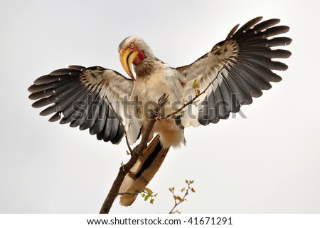 hornbill spread its wings,Kruger national park,South Africa - stock photo