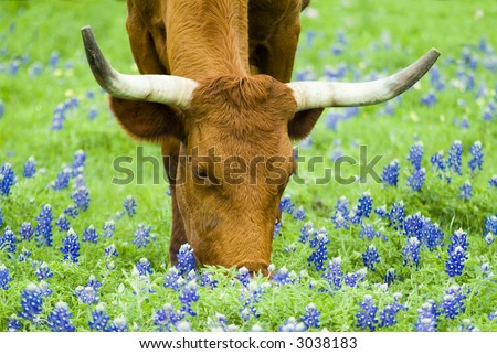 Horned bovine grazing peacefully with lovely Bluebonnet flowers peppered though out the green grass. - stock photo