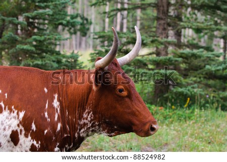Horned Bull in mountain pasture