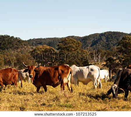 Horned Cow in Cattle  Pasture Country in Australia