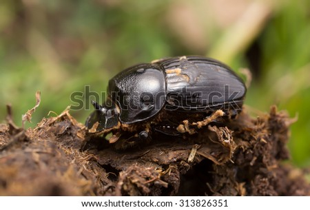 Horned dung beetle, Copris lunaris on dung - stock photo