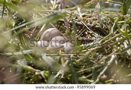 Horned Grebe Eggs in nest Saskatchewan Canada - stock photo