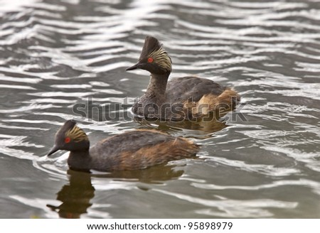 Horned Grebe in Saskatchewan Canada water pond swim - stock photo