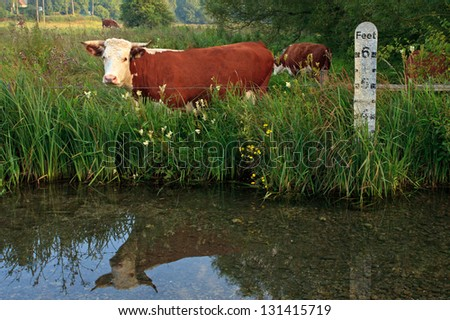 Horned Hereford cow standing in a field besides a river with a depth marker, it's reflection in the still water. - stock photo