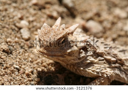 horned (horny) toad - stock photo