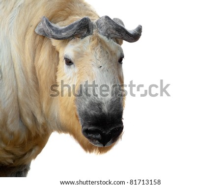 Horned mammal on a white hum - stock photo