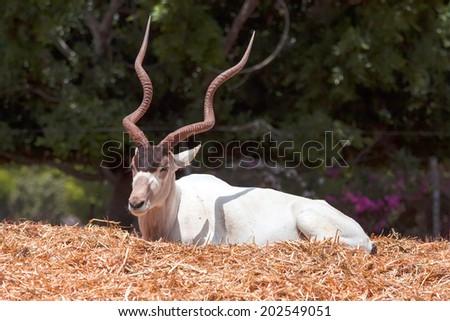 Horned Oryx - stock photo