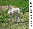 Horned Oryx in zoo - stock photo