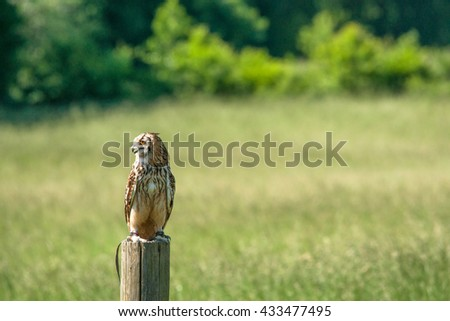 Horned owl looking to the left in green nature - stock photo