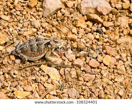 Horned Toad - stock photo