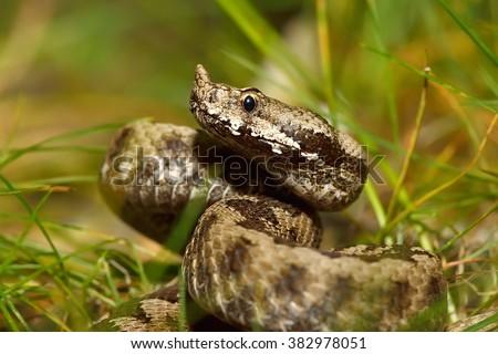horned viper in natural habitat (vipera ammodytes) - stock photo