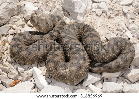 Horned viper (Vipera ammodytes) female before the molt - stock photo