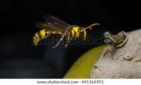 hornet,Caterpillars, food for the   hornet - stock photo