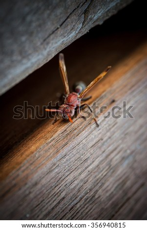 Hornet on a wood table - stock photo