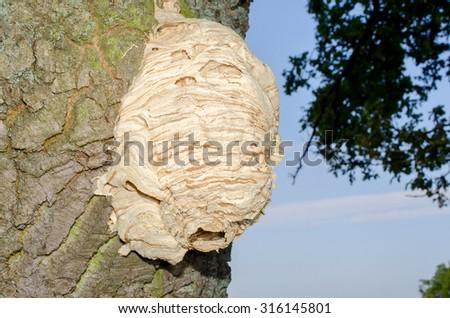 hornets nest in tree - stock photo