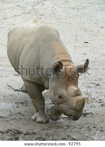 Hornless rhinoceros at the San Francisco Zoo fullbody. - stock photo