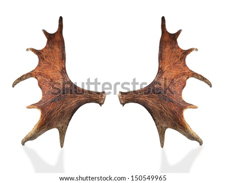 Horns of a large elk. isolated on a white background - stock photo