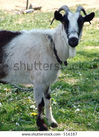 Horny the goat - stock photo