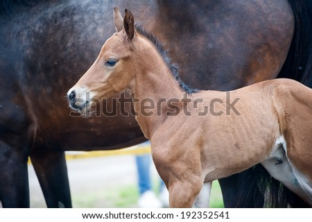 Horse and colt (2-day) walks in paddock - stock photo