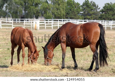 horse and foal eat hay ranch scene - stock photo