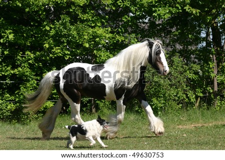 "horse and hound trotting , two friends, ""Irish Cob"" , ""Irish Tinker"" Tinker joint by ""Jack Russel Terrier"" paint - stock photo"