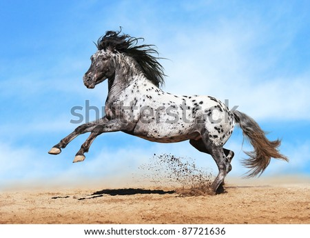 Horse Appaloosa color play on meadow in sky background - stock photo