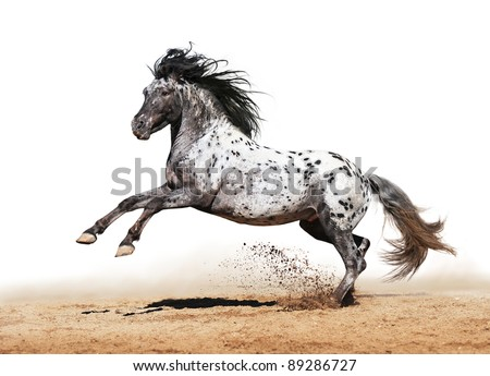 Horse Appaloosa color play on meadow in white background - stock photo