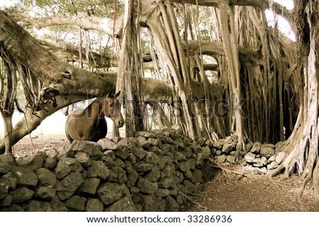 Horse Behind Stone Wall Under Banyan Tree - stock photo